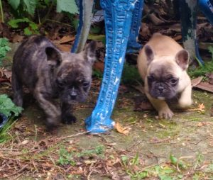 kc-reg-breed-standard-frenchie-pups-top-quality-5cc5adbb34bf9.jpg
